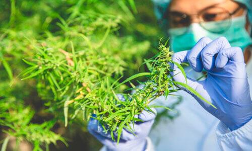 Cannabis medicinal e distúrbios neurológicos